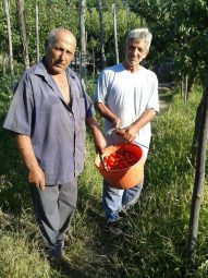 Raccolta del Pomodorino di Corbara